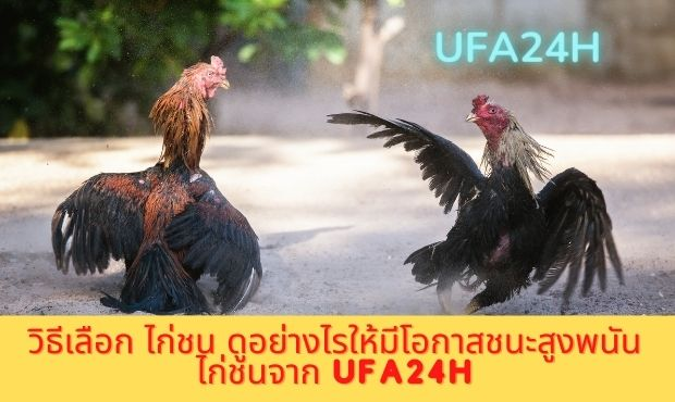 วิธีเลือก ไก่ชน ดูอย่างไรให้มีโอกาสชนะสูงพนันไก่ชนจาก ufa24h